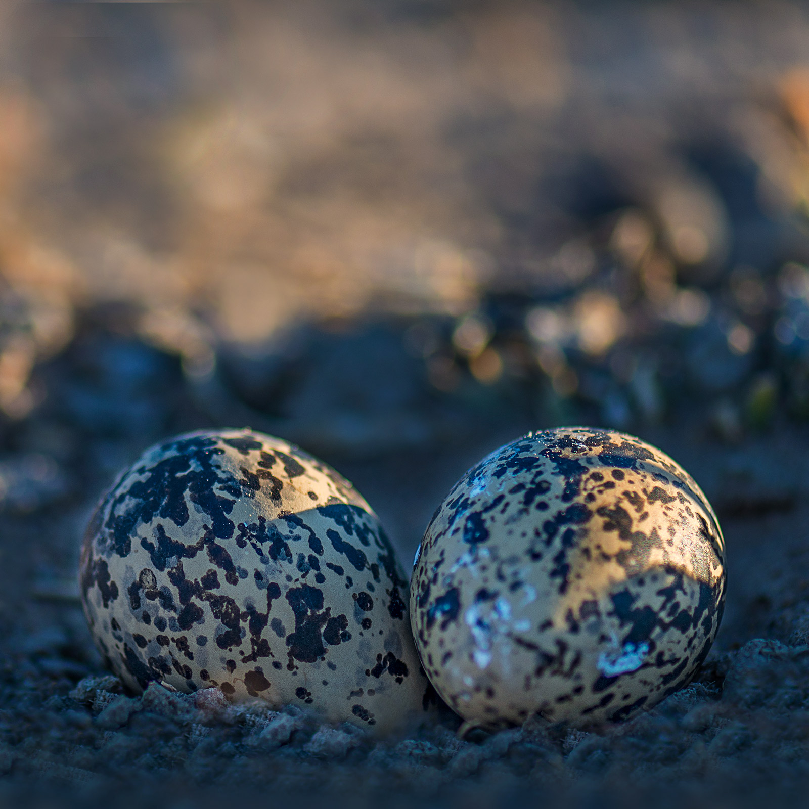 Two Crowned Lapwing eggs.